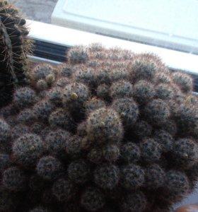 Отростки кактусов