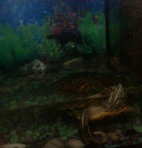 Продам красноухую большую черепаху
