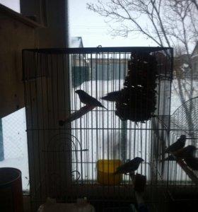 Попугаи амадины зивровые