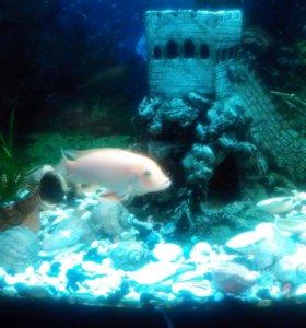 Красная зебра(аквариумная рыбка)