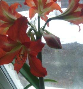Цветок гиппеаструм