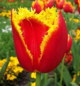 Луковицы тюльпанов и нарциссов