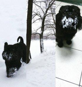 Собаки вязка бельгийский гриффон