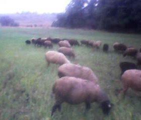 Мясо баранины и живые  бараны