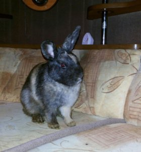 Декоративный кролик