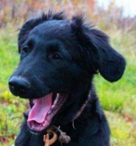 Ищет дом щенок, метис прямошерстного ретривера