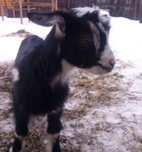 Козлик от породистых коз