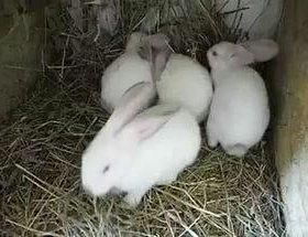 Калифорницы кролики