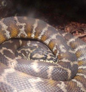 Змея питон  девочка продам  в месте с аквариум