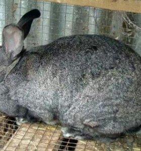 Кролик на мясо и развод