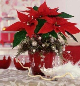 Цветок Рождественская звезда с доставкой на дом.