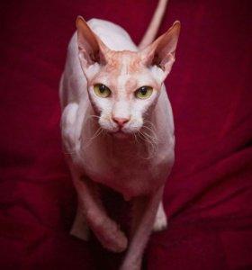 Общительный котик сфинкс ищет дом