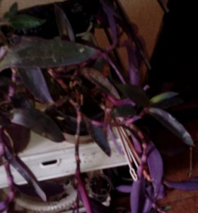 Растения по 50 р