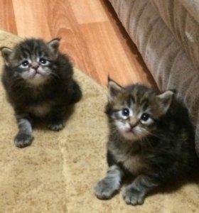 Котята Мейн кунята мальчики