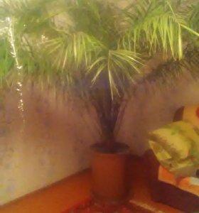 Пальма финиковая до 4 метров высота звоните