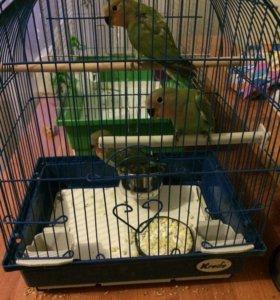 Попугаи - неразлучники розовощекие