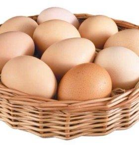 Инкубационное яицо Джерси гигант