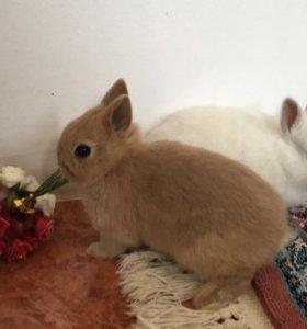 Миниатюрные кролики
