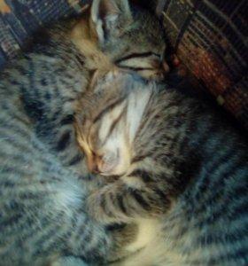 Шотландские котята девочки