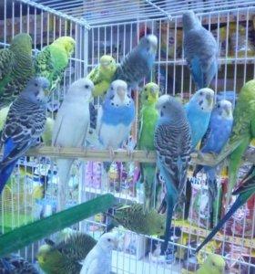 Волнистын попугаи