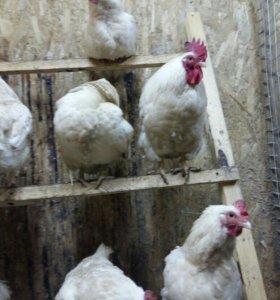инкубационное яйцо мини мясных кур