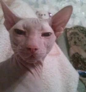 Кот,породы сфинкс