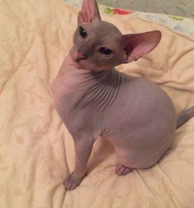 Кот донской сфинкс на вязку