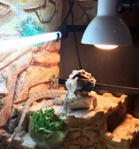 Бородатая агама с террариумом , рептилии