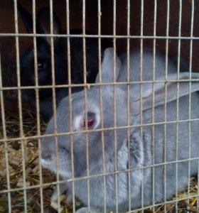 Кролики. Продажа. Живых и на мясо