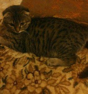Выслоухий Кошка