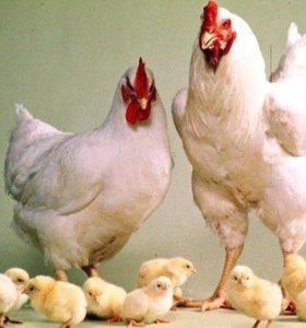 Цыплята индюшата утята