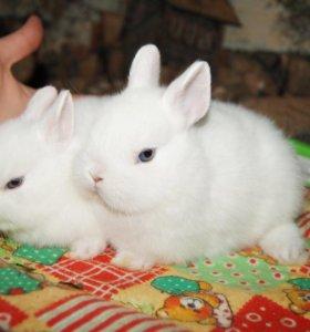 Карликовый крольчонок гермелин