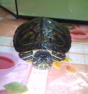 Черепахи 1 за 250
