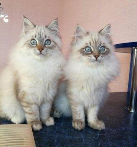 Невсие маскарадные ,сибирские кошки.
