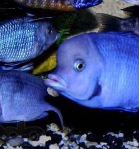 Голубой дельфин. Аквариумная рыба