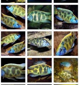 Леопард золотой, аквариумная рыба