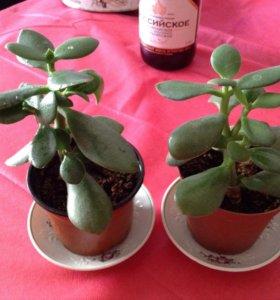 Растения. Фикус БАРОККО трехцветный с закруч. лис