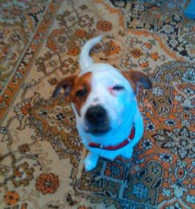 Собака(кабель), порода:джек рассл терьер.