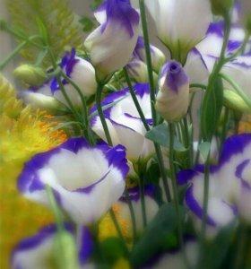 Рассада цветов эустомы-лизиантус
