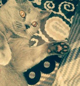 Шотландский кот для вязки..89204183637
