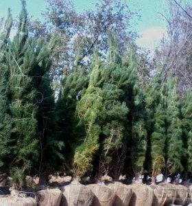 Деревья КРУПНОМЕРЫ
