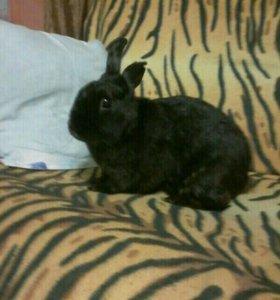 Декоративный черный кролик продается вместе с клет