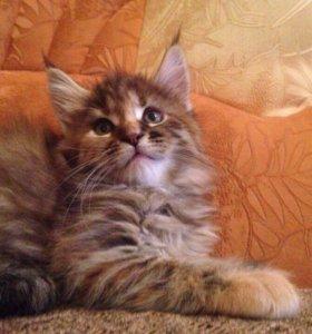 Продаются котята Мейн-кунята