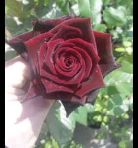 Саженцы роз!