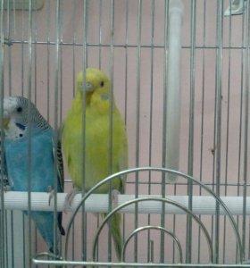Продам жёлтого попугайчика девочку