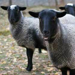 Овцематки романовской породы