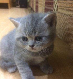 Котята британцы /продаю / т.8-988-335-08-37