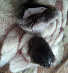 Кошачьи уши на заколках. Тёмно-коричневого цвета.