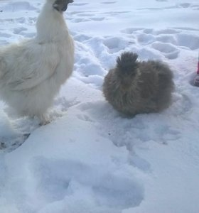 Цыплята разных пород.