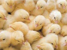 Цыплята суточные бройлер. Яйцо инкубационное.
